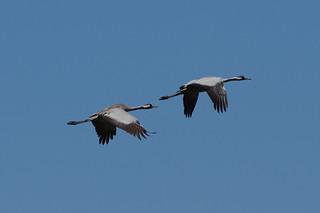 IMGP8537c Common Cranes, Woodwalton Fen, May 2018