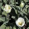 Tulips White (rumerbob) Tags: tulip tulipswhite flower floral flowergarden fauna botany botanicalgardens botanical macro macroflower macrophotography longwoodgardens nature naturewatcher naturephotography canon7dmarkii canon100mmmacrolens