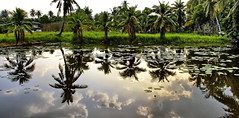 tropical reflections (meren34) Tags: island koh kret chaophraya river bangkok thailand reflection tropical garden tree water pool wet palm plant clouds tai travel tour farm