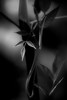 creeping beauty (courtney065) Tags: nikond200 nature landscapes flora foliage monochrome bw blackandwhite shadows depthoffield dark soft serene mysterious shadowland vines newgrowth spring pondgrowth wetlandgrowth leaves