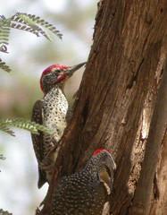 Nubian woodpecker -  Lake Baringo Kenya 2003 (wietsej) Tags: nubian woodpecker lake baringo kenya 2003 nikon coolpix 4500 bird