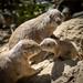Black-tailed Prairie Dog (Cynomys ludovicianus) family