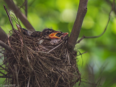 Baby Bird in a Nest (JuanJ) Tags: nikon d850 lightroom art bokeh nature lens light landscape white green red black pink sky people portrait location architecture building city iphone iphoneography square squareformat instagramapp shot awesome supershot beauty cute new flickr amazing photo photograph fav favorite favs picture me explore interestingness wedding party family travel friend friends vacation beach robin bird baby next kentucky scottcounty georgetown animal tamron