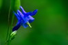 Ancolie sauvage (Phil du Valois) Tags: ancolie fleur forêt sauvage retz
