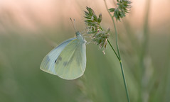 Sleeping Beauty - Koolwitje (Wim Boon Fotografie) Tags: wimboon alblasserwaard alblasserdam holland netherlands hoekzoeker canoneos5dmarkiii canon100mmf28lismacro vlinder butterfly macro macrofotografie sunset koolwitje
