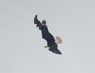 Bald Eagle chased by N Harrier