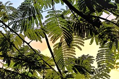 View from below (thomasgorman1) Tags: fern leaves nature nikon green colors colorized enhanced effects branches processed island tree trees hawaii
