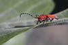 Red Milkweed Beetle on Milkweed leaf (jlcummins - Washington State) Tags: showymilkweed redmilkweedbeetle insect beetle home nature asclepiasspeciosa tetraopestetrophthalmus canonef100mmf28macrousmlens canon