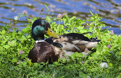 Pastures of Passivity (Robin Shepperson) Tags: summer duck bird tamron d3400 nikon berlin germany wildlife nature green pink blue canal water park orange