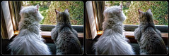 The Girls (Stereo) (tombentz33) Tags: stereo 3d crossview cats pets