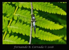 Chalk-fronted Corporal (8105) (fbc57) Tags: sigma180f28apomacroexdgos nikond850 vermont bristol beavercreek libellulidae anisoptera skimmers dragonflies chalkfrontedcorporal ladonajulia