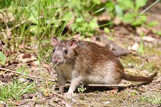 Ratty rat rat