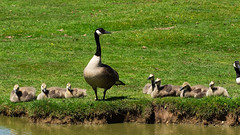 Canada Geese Photobomb - New Forest (fstop186) Tags: newforest goslings wild riverbank water feathers soft downy canadiangeese canadiangoose canadageese geese canada flock