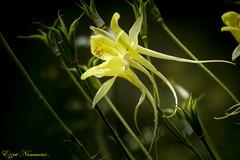 Ancolie jaune - Aquilegia chrysantha Yellow Queen (Ezzo33) Tags: ancolie jaune aquilegia chrysantha yellow queen france gironde nouvelleaquitaine bordeaux ezzo33 nammour ezzat sony rx10m3 parc jardin fleur fleurs flower flowers
