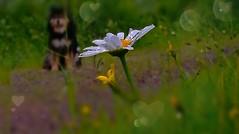Two of a kind ❤❤ (evakongshavn) Tags: daisy loveisintheair unconditionallove love mylove mycaptain blahblahscape dof blur art artistic rain drops raindrops rainyday