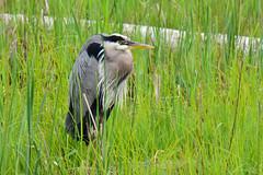 Great Blue Heron (Ardea herodias) (R-Gasman) Tags: bird greatblueheron ardeaherodias terranova richmond britishcolumbia canada