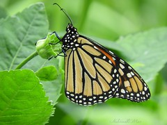 Monarch (NaturewithMar) Tags: butterfly monarch insect macro nature greenbackground green chicago illinois wiphotographer photoscape 2018 nikoncoolpix b700