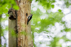 Great Spotted Woodpecker | Buntspecht (jansohler) Tags: buntspecht dendrocoposmajor fauna greatspottedwoodpecker nichtsperlingsvögel spechte vögel wirbeltiere