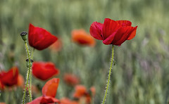 Poppy and friend! (David Feuerhelm) Tags: colour red poppies nikkor bokeh bug insect weed wildflower dof field nikon d750 closeup 105mmf28 flora flowers nature