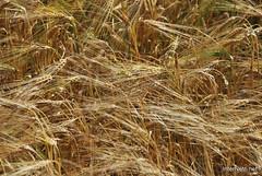 Пшениця, жито, овес InterNetri  Ukraine 031