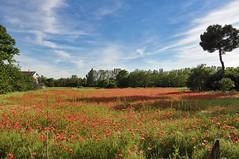 Campo di papaveri il regalo della primavera (_Giò_) Tags: papaveri fiori prato campagna poppies flowers rosso red sky cielo primavera spring