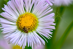 Aster with Insect, Macro (thatSandygirl) Tags: spring summer outdoors garden floral aster purple yellow white flower blossom bloom insect bug macro bokeh depthoffield nature