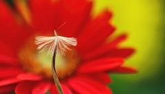 Seedling (dianne_stankiewicz) Tags: hmm allnatural macro macromondays seedling nature plant flower seed natural
