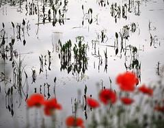Flower de 0znek (YvainB) Tags: dombes ain