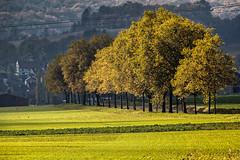 Lumière sur les arbres (Lucille-bs) Tags: europe france bourgogne côtedor nature arbre pré lumière automne
