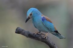 Carraca europea (Sento74) Tags: carracaeuropea coraciasgarrulus aves birds fauna tamron150600g2 nikond500