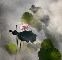 Lotus flower 霧荷 (MelindaChan ^..^) Tags: foshan china 佛山 亞洲藝術公園 lotus pond flower leaf plant 荷花 蓮 mist water steam chanmelmel mel melinda melindachan park green summer bloom blossom 霧 fog