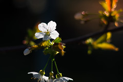 Cherry Blossom (Theo Crazzolara) Tags: cherryblossom cherry tree natural sun light morning sunrise raising hope sweet kirschen kirschblüte summer contrast nature macro closeup garden beautiful
