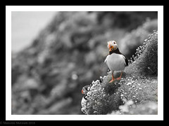 Colour Pop (Malcolm McGrath) Tags: puffin southeast saltees islands wexford ireland southeastireland ferry flowers