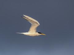 Elegant Tern, Thalasseus elegans (bruce_aird) Tags: