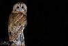 Tawny Owl (geraintparry) Tags: south wales southwales nature geraint parry geraintparry wildlife sigma sigma150600 150600 150600mm nikond500 d500 animal animals tawny owl owls bird birds prey
