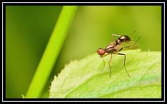 """Wing Preening..."" (NikonShutterBug1) Tags: nikond7100 tokina100mm fly insect entomology nature wildlife bokeh spe smartphotoeditor closeup macro flydayfriday wingwednesday"
