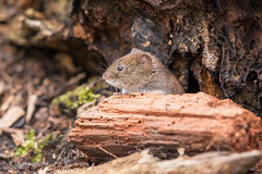 Bank vole - Watching the world go by D85_2711.jpg (Mobile Lynn) Tags: bankvole vole rodents nature fauna mammal mammals rodent rodentia wildlife