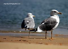 IMG_5210 Heuglin's Gull (Larus heuglini) (vlupadya) Tags: greatnature animal aves fauna indianbirds heuglins gull larus kundapura karnataka