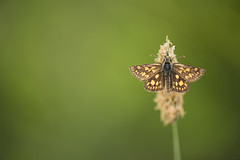 Chequered Skipper butterfly (Benjamin Joseph Andrew) Tags: plant invertebrate insect basking warming spring reintroduction release conservation rootsofrockingham science ecology brown gold