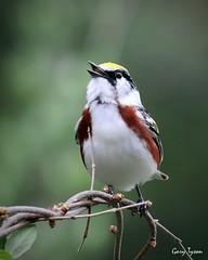 Chestnut-sided Warbler (GaryT48) Tags: tiogacounty pennsylvania coltonpointstatepark chestnutsidedwarbler setophagapensylvanica