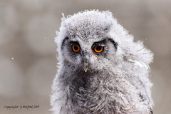Baby Owl (Holfo) Tags: bird bridsofprey owl baby fluff fluffy nature wildlife nikon d750 young owlet cute