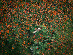 Poppy's bath (Emmanuel Pampuri) Tags: champ coquelicots extérieur nature nu poppys poppy nude