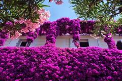 wall flowers / wall of flowers (andtor) Tags: campania capri italia italy italien oleander bougainvillea nerium viacamerelle rx100