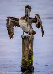 Pelican on a Piling (lastminutephoto) Tags: pelican bird wings piling post showing off atlantic ocean mexico
