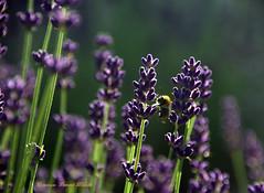 Prendre de l'essence (Dominique Dumont Willette) Tags: fleurs végétation lavande abeille butiner