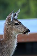 Deer gaze (briannalhendricks) Tags: pnw canonrebelt6 canonrebel canon wildlife deerphotography deer