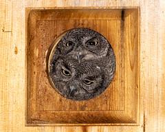 Sibling Rivalry (dan.weisz) Tags: westernscreechowl nest owl raptor tucson bird