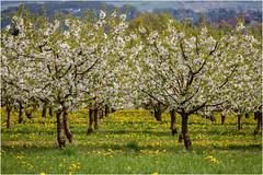 cherry blossom . (:: Blende 22 ::) Tags: cherry blossom trees deutschland germany hessen spring springtime blumen gras wiese grün weis blüten canoneos5dmarkiv frühling hessian meadow white green dandelion ef70200mmf4lisusm