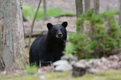 Black Bear (av8s) Tags: blackbear bear nature wildlife photography nikon d7100 sigma 120400mm pennsylvania pa