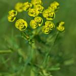 Euphorbia thumbnail